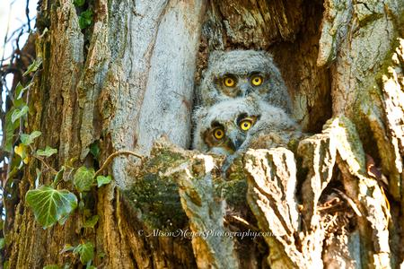 """Great Horned Owlets"""