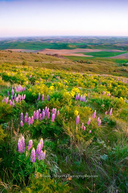 """Wildflowers On the Palouse"""