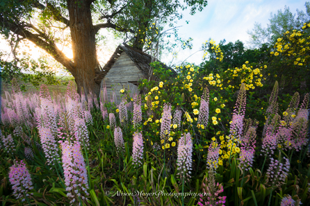 """Foxtail Lilies By the Old Shed, Moscow, Idaho"""