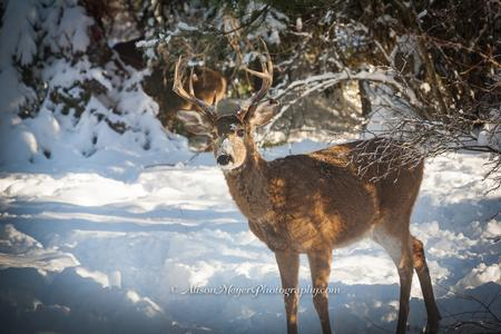 """White Tailed Deer Buck, Idaho"""